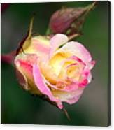 Dew Drop Rose Canvas Print