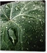 Dew Drops Canvas Print