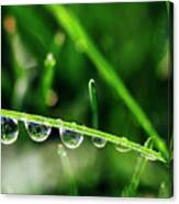 Dew Drops On Blade Of Grass Canvas Print