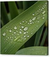 Dew Drops On Leaf Canvas Print