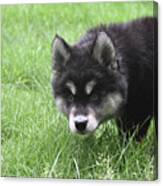 Dew Drops On The Nose Of An Alusky Puppy Dog Canvas Print
