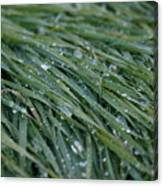 Dew Grass Two Canvas Print