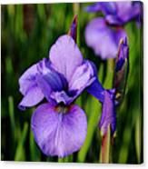 Dew Kissed Iris Canvas Print