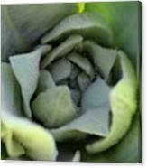 Dew On Common Mullein Canvas Print