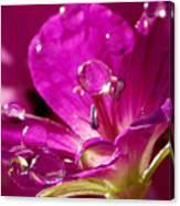 Dew On Pink Canvas Print