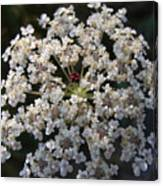 Dew On Queen Annes Lace Canvas Print