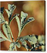 Dew On Rue Canvas Print