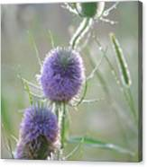 Dew On Thistles 2 Canvas Print