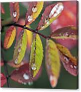 Dew On Wild Rose Leaves In Fall Canvas Print