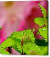 Dewdrops And Pastels Canvas Print