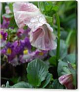 Dewy Pansy 4 Canvas Print