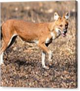Dhole In The Wild Canvas Print