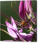 Digging In The Stamens Canvas Print