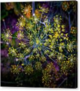 Dill Going To Seed Canvas Print