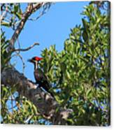 Ding Darling - Pileated Woodpecker Resting Canvas Print