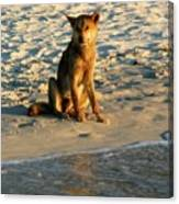 Dingo On The Beach Canvas Print