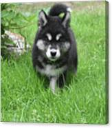Dinstinctive Black And White Markings On An Alusky Pup Canvas Print