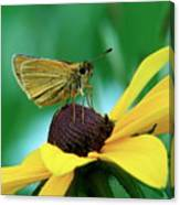 Dion On A Brown Eyed Susan Canvas Print