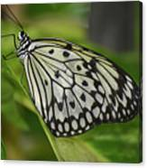 Distinctive Side Profile Of A White Tree Nymph Butterfly Canvas Print