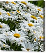Dizzy With Daisies Canvas Print