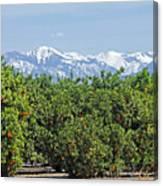 Dm6850-e Orange Grove And The Sierra Nevada Ca Canvas Print