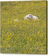 Do Ewe Like Buttercups? Canvas Print