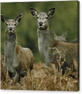 Doe And Young Deer Canvas Print