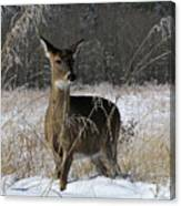 Doe In The Cove Canvas Print