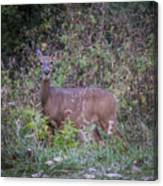 Doe In The Weeds Canvas Print