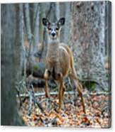 Doe On The Move Canvas Print