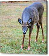 Doe Stomp Canvas Print