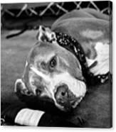 Dog At The Ring Canvas Print