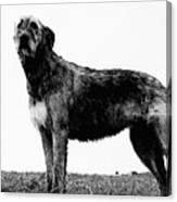 Dog: Irish Wolfhound Canvas Print
