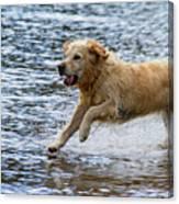 Dog Running On Shallow Lake Shore Canvas Print