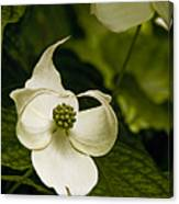Dogwood Ballet Canvas Print