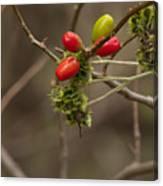 Dogwood Berries Canvas Print