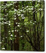 Dogwood Blooming In Forest Canvas Print