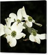 Dogwood Blooms Canvas Print