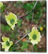 Dogwood Flowers Canvas Print