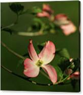 Dogwood In Pink Canvas Print
