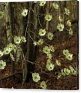 Dogwoods In The Spring Canvas Print
