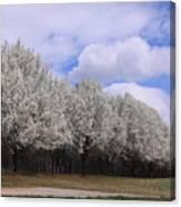 Bradford Pear Trees On Display Canvas Print