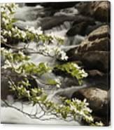 Dogwoods Over Cascades  Canvas Print