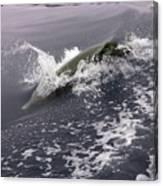 Runnin' Dolphin  Canvas Print