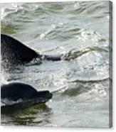 Dolpins In Estero Bay Canvas Print