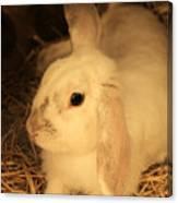 Domesticated Rabbit Canvas Print