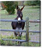 Donkey At The Fence Canvas Print