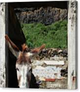 Donkey At The Window Canvas Print
