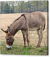 Donkey Finds Greener Grass Canvas Print