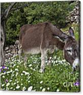 Donkey Grazing In Greece Canvas Print
